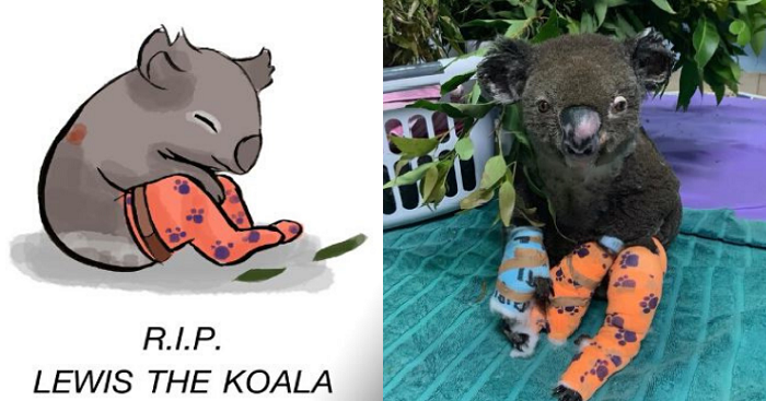 Lewis The Koala Died From Injuries One Week After His Rescue
