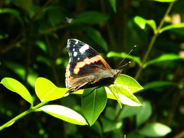Big Butterfly Watch