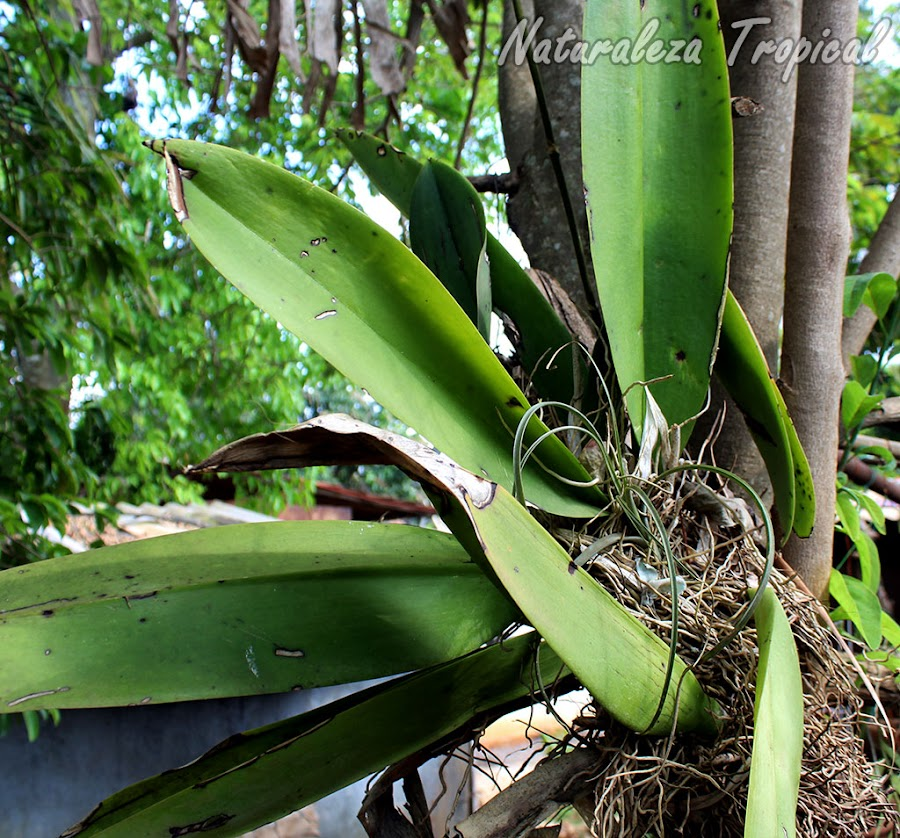 Vista de la planta de la orquídea Oreja de Burro, Trichocentrum undulatum