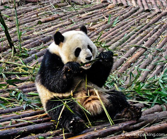 Panda Raksasa (Ailuropoda melanoleuca),