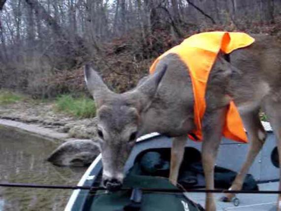 deer on small boat wearing a blaze orange hunter safety vest