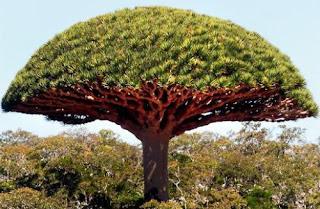 Cây huyết kiệt là cây gì? có tác dụng gì? dùng làm gì?