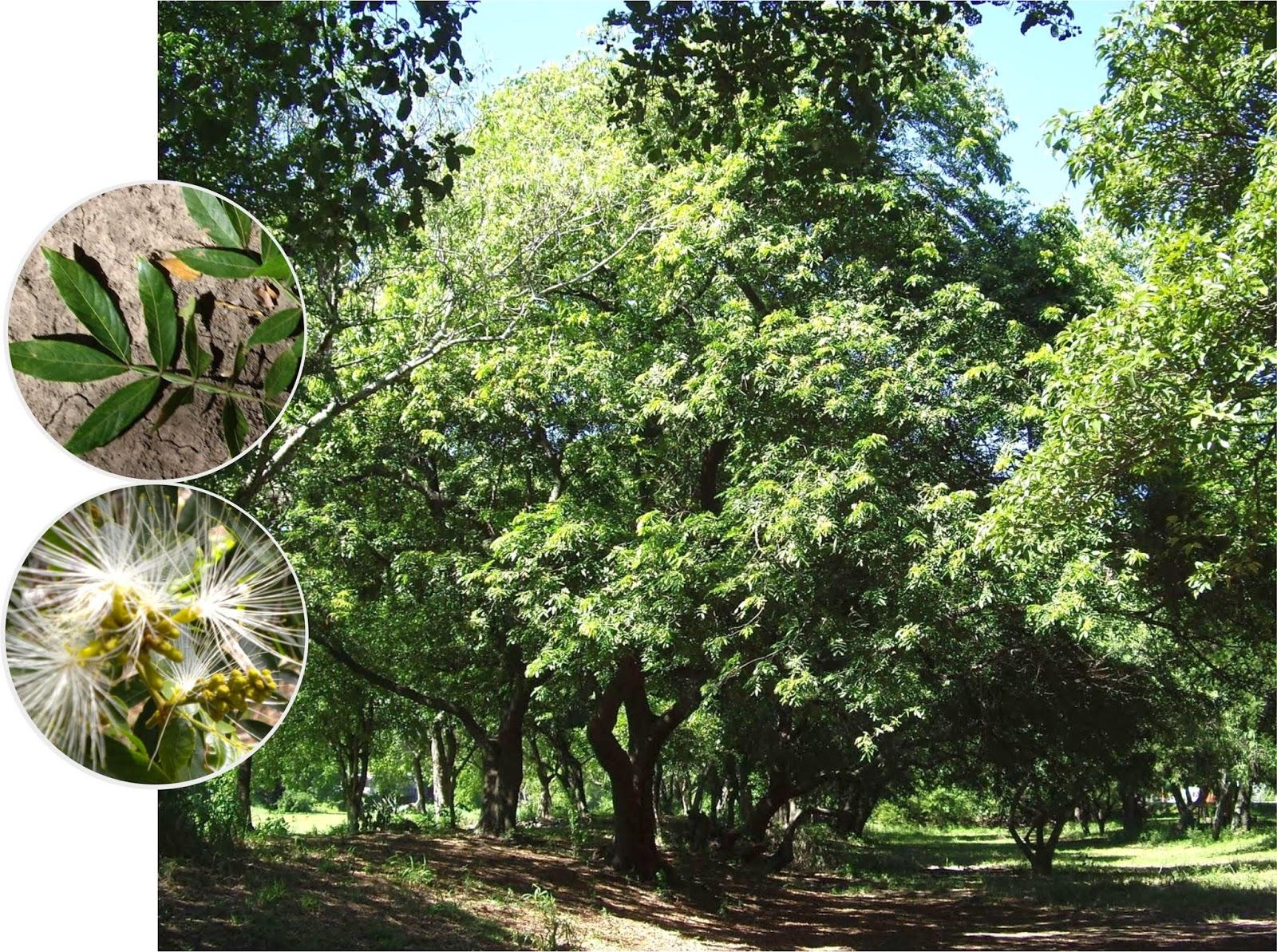 Argentina nativa inga colorado inga uruguensis for Arboles perennes en argentina