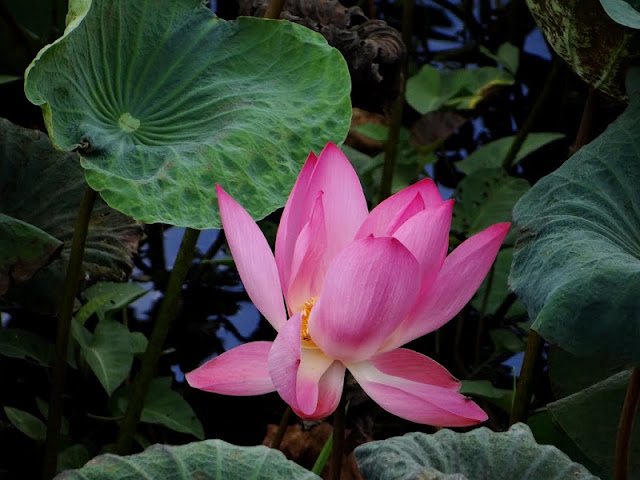"Come to Dong Thap province to enjoy ""The lotus flower season"" 2"