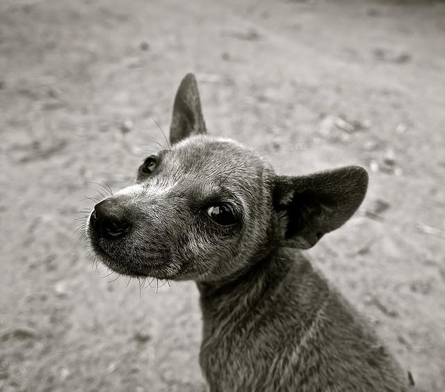 В Уфе несовершеннолетние живодеры искалечили юную собаку, пытаясь ее оскальпировать. Спас щенка ветеринар Даниэл Ахметов.