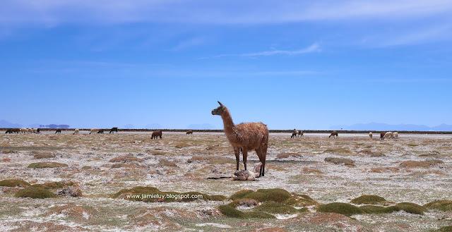 Llama, Uyuni, Bolivia