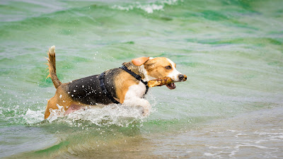 Beagle am Meer by Fotograf Michael Schalansky