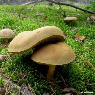 borowik zajeczy, grzyb zajeczy, podgrzybki, borowiki, grzyby, grzybobranie, atlas grzybow, jaki to grzyb, grzyby gatunkami, las