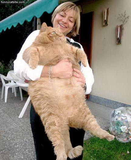 hilarious pictures of fat cats - photo #24