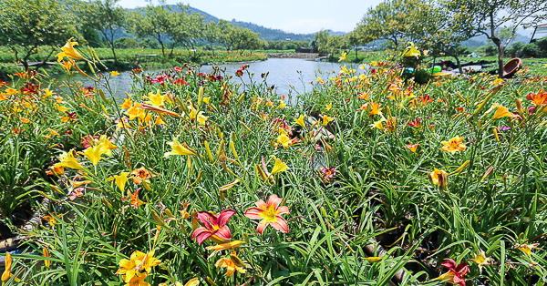 南投魚池|日月潭-彩色金針花海+環湖一日遊