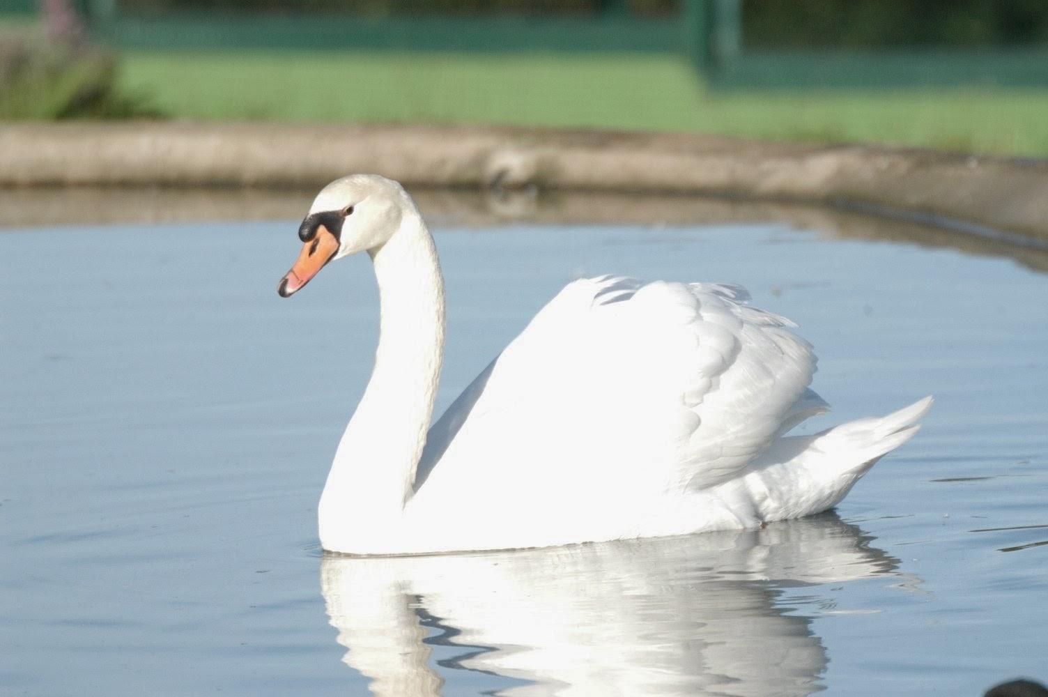 El Patito Feo se convirtió en un bonito Cisne