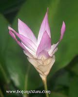 Calathea loeseneri