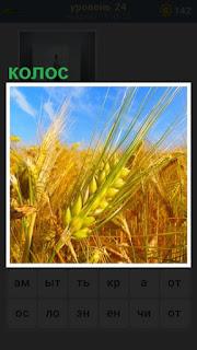 на поле растет пшеница и крупным планом спелый колос