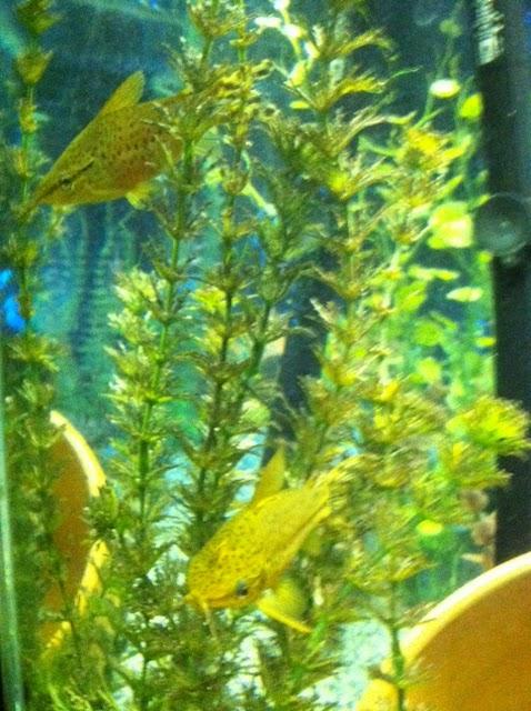 Lemmonaquatics Flagtail Porthole Catfish