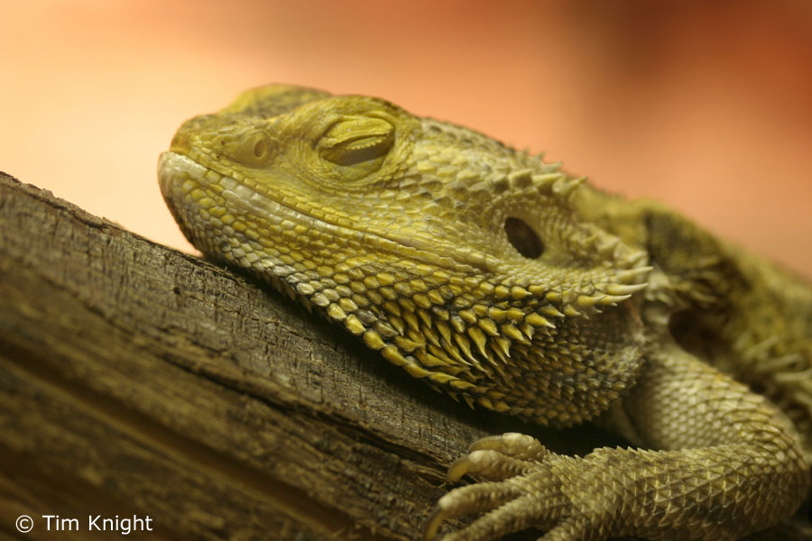 Free Cool Wallpapers: bearded dragon pictures