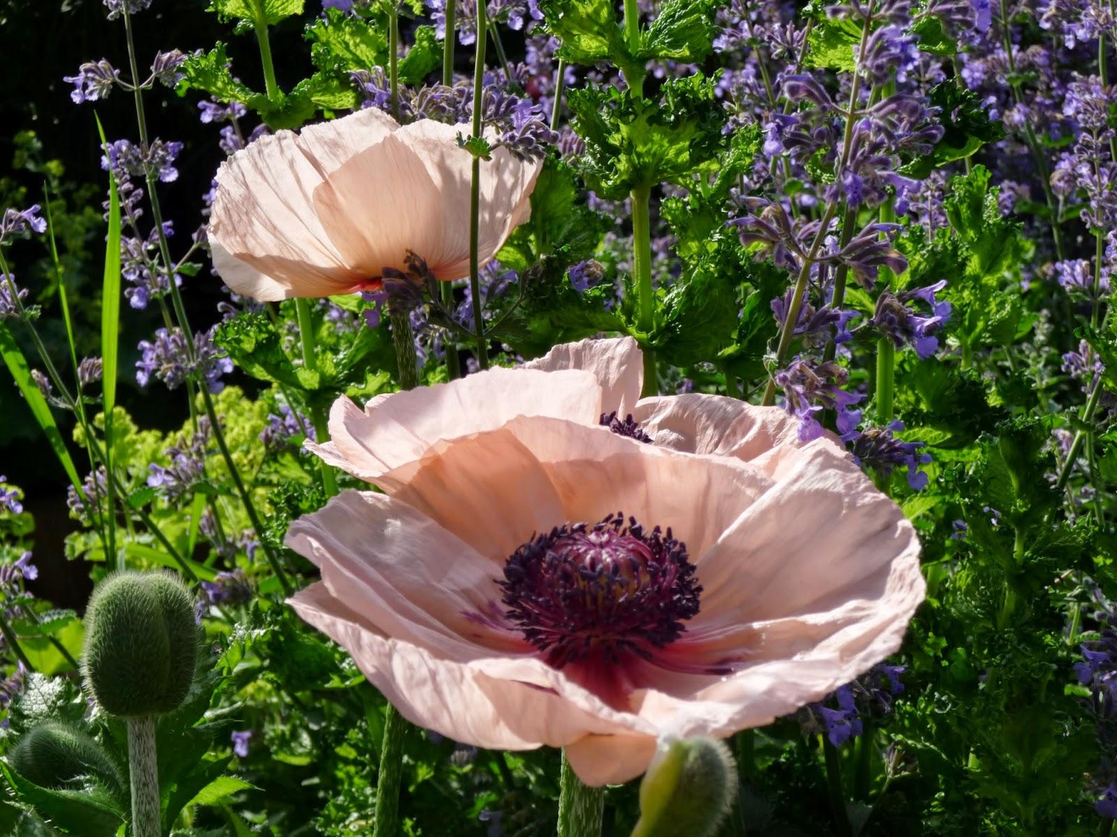 Belles Fleurs Garten Haus Natur Pfingstrose Und Katzenminze