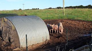 pigs in their stye