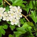 Espino blanco medicinal
