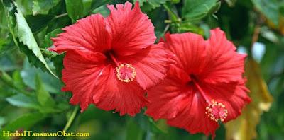 bunga kembang sepatu, kembang sepatu dan kupu kupu, kembang sepatu, manfaat kembang sepatu untuk pengobatan rambut rontok, manfaat bunga kembang sepatu, manfaat tanaman kembang sepatu, manfaat bunga sepatu untuk kesehatan rambut