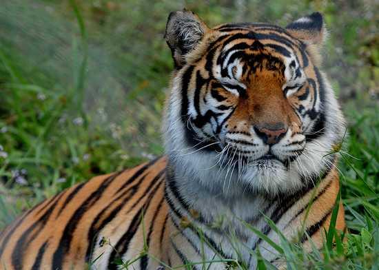 Singa ( Panthera Leo )