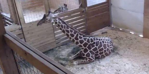 'Sexually explicit' giraffe birth livestream taken off Youtube
