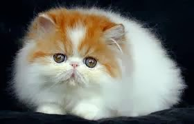 Bisnis Kucing Persia