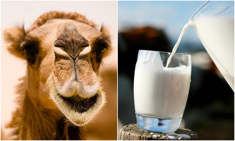 10 Reasons You Should Start Drinking Camel Milk