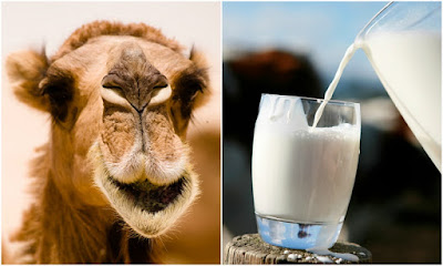 10 Reasons You Should Start Drinking Camel Milk