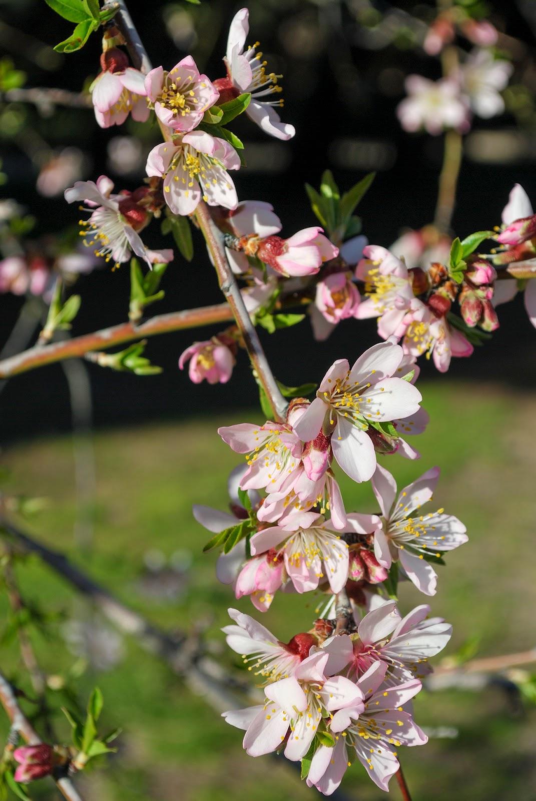 beautiful spring springtime flowers cherry blossom bloom europe spain scenery quinta molinos madrid