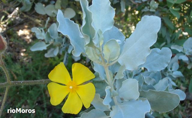 Estepa blanca Halimium atriplicifolium