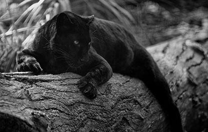 Black panther resting on a log