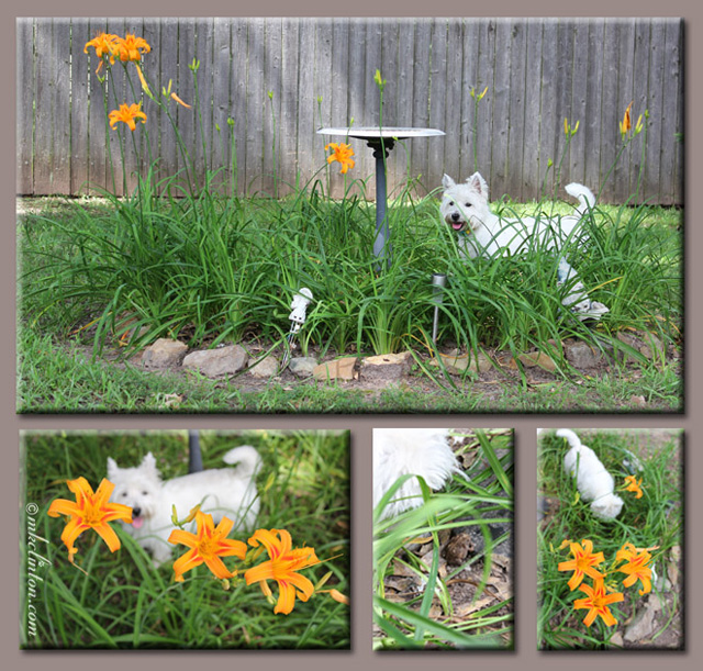 Westie in a flower garden collage