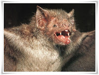 Vampire Bat Animal Pictures