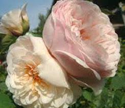 Daftar nama & harga tanaman hias / bunga termahal, paling mahal, tertinggi di dunia