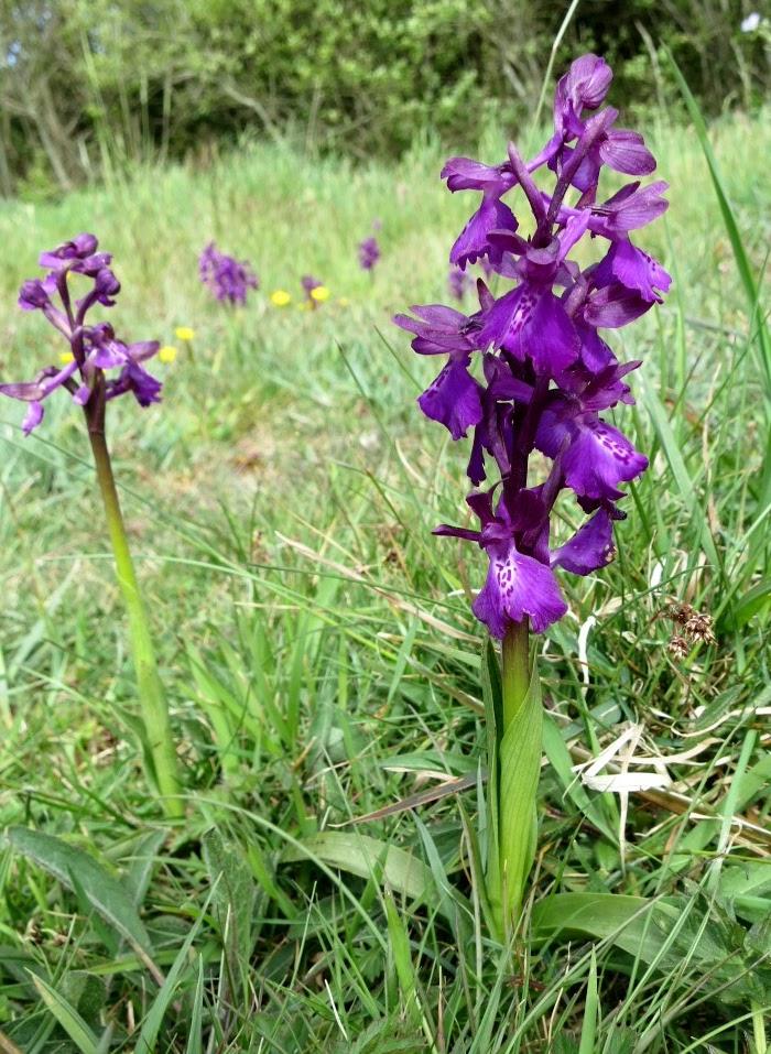 Une Orchis résultant de l'hybridation d'une orchidée fleur lâche avec une orchidée bouffon