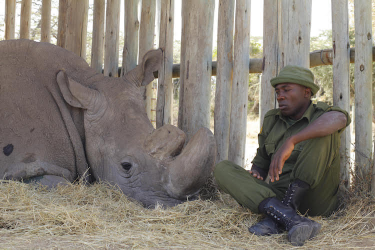 A Man Is Protecting The Last Two Northern White Rhinos Alive (Interview)