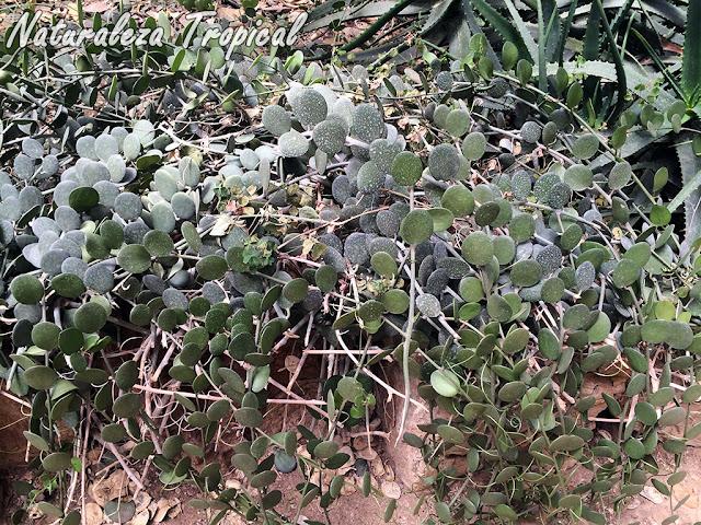 Fotografía de la planta de la Moneda en una rocalla, Xerosicyos danguyi