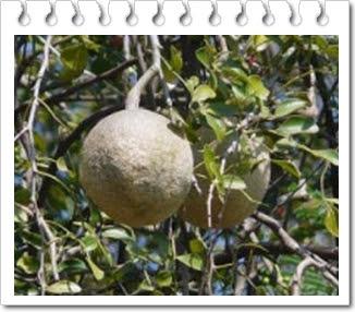 Manfaat buah kawista untuk kesehatan dan ibu hamil