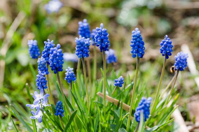 Garten Anfang April, Pomponetti