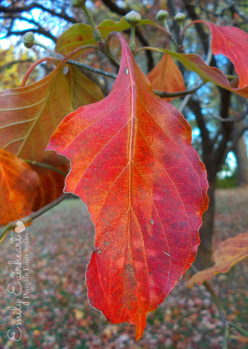 A red and orange leaf on a Dogwood tree.