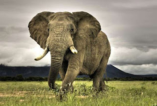 नाच उठा हाथी