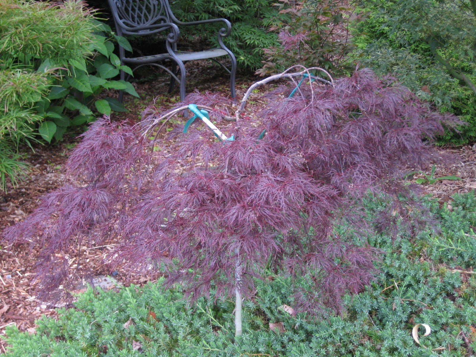 Marys Maples Acer Palmatum Red Filigree Lace
