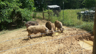 heritage Pig breed, the meishan pig is a perfect pig for small farms and homesteads