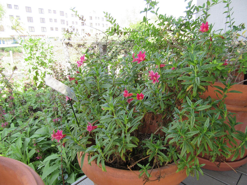Growing California Native Plants In Containers