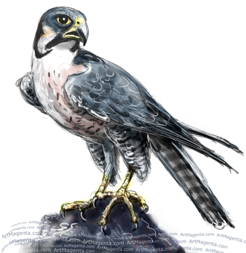 Peregrine Falcon sketch painting. Bird art drawing by illustrator Artmagenta