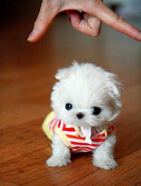 Top 5 Teeny Tiny Puppies You Must See Now