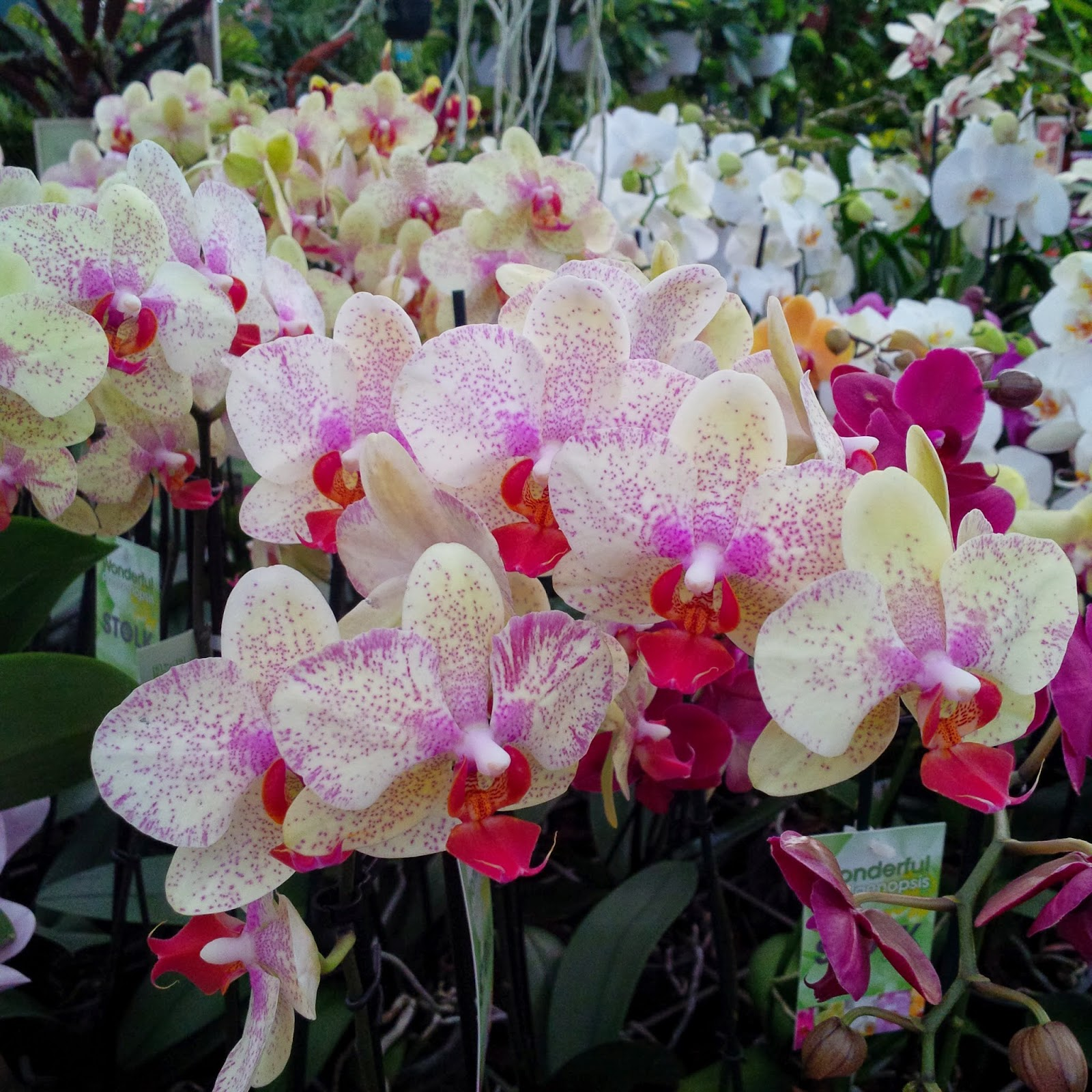 selection speckled orchids viridea vicenza