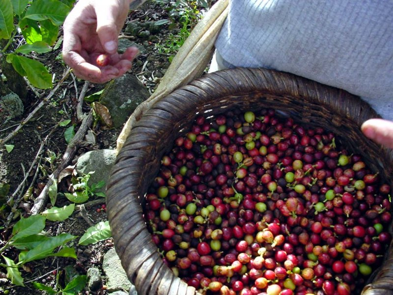 Plantation export crops - coffe