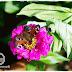 Schmetterlingsgarten: Die richtigen Pflanzen für den Garten um ein Paradies für Schmetterlinge wie Tagpfauenauge zu schaffen: Zinnie, Schmetterlingsflieder und Co!