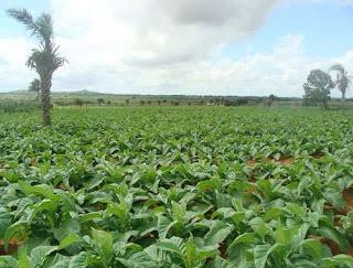A Planta do Tabaco